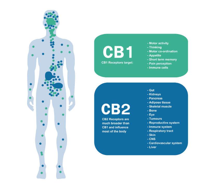 CB1 receptor and cb2 receptor
