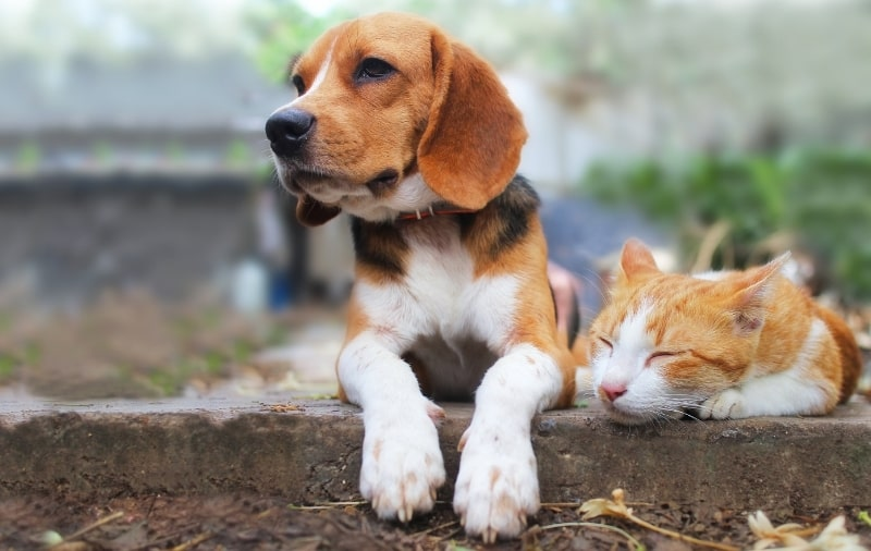 CBD for cats and dogs